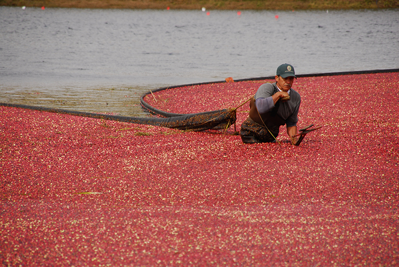 cranberry harvest - local cranberries