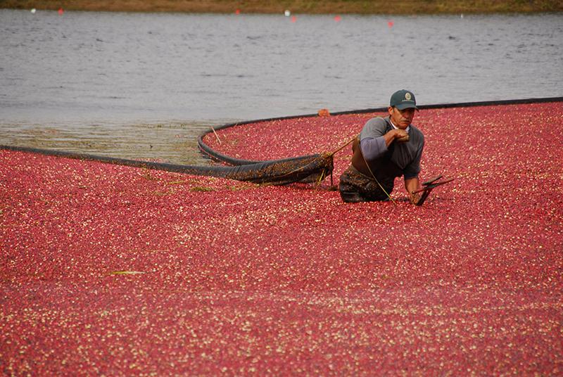 cranberry harvest - local cranberries